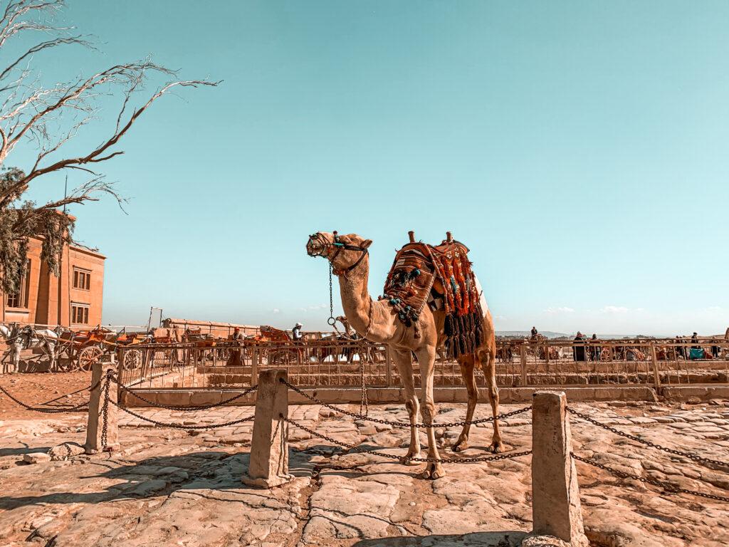 Kamele an den Pyramiden